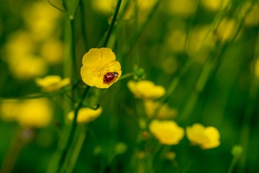 Harlequin ladybird on the yellow petals of a buttercup wild flower