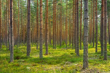 Sun shining in a beautiful pine forest in Sweden