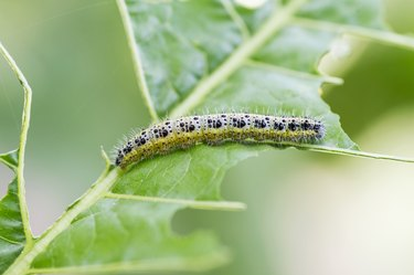 Cabbage White Caterpillar. Close up of Cabbage White Caterpillar eating holes in cabbage leaf.
