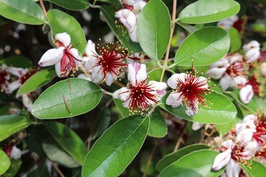 Pineapple Guava fruit flower - Acca Sellowiana
