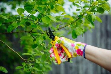 Gardener pruning trees with yellow secateur in the spring garden.