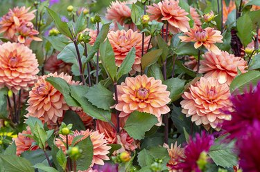 Close-up image of the beautiful summer flowering orange 'Waterlily' Dahlias and buds in soft sunshine