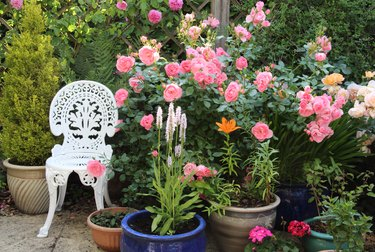 Pot plants & roses on patio in English domestic garden.
