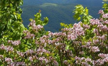 Blooming Pink Mountain Laurel