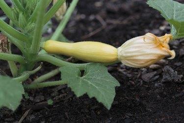 Small organic yellow squash with bloom growing in backyard garden