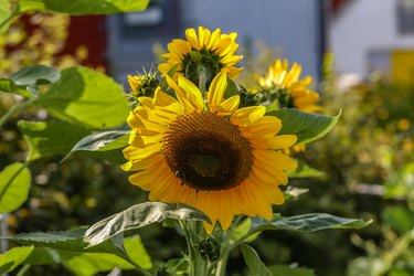 Yellow sunflower in green field