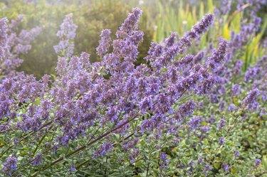 Beautiful, blue summer flowers of Nepeta grandiflora 'Bramdean'