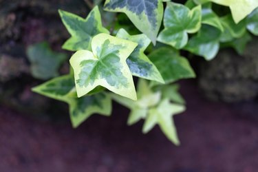 Ivy leaves close up