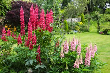 English country garden with pink lupins.