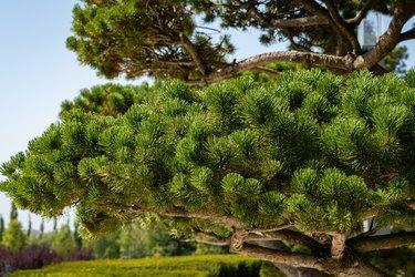 City Park of Krasnodar or Galitsky Park. Close-up of beautiful bonsai pine (Pinus mugo or mountain pine) with lush needles against blue sky. Public landscape park of Galitsky. Sunny autumn day.