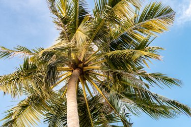 The coconut tree (Cocos nucifera), palm tree, view from the bottom, large leaves, blue sky background, Maldives.
