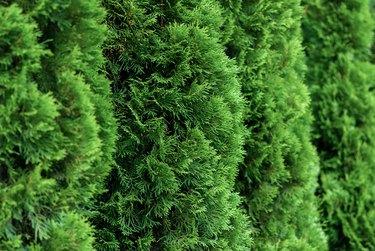 close up of green thuja hedge (thuja occidentalis)