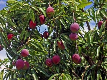 Tree mangoes
