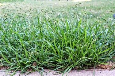 Lawn taken over by Crabgrass (Panicum virgatum) Weeds.