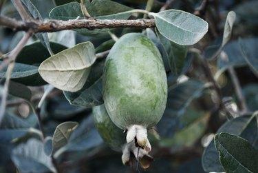 Fejoa (Acca sellowiana) Fruit