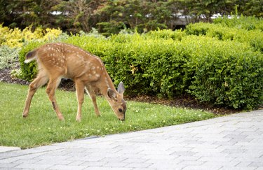 Baby Deer - Fawn in the backyard munching on the grass