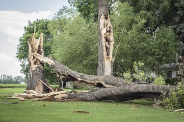 two big tree trunks broken by a severe storm