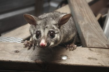 possum in the rafters looking down