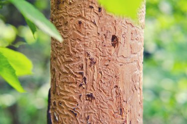 A tree eaten by a bark beetle against a background of green summer foliage
