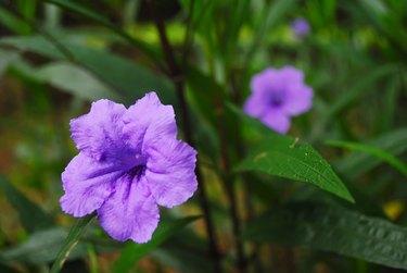 Closeup flowers of Ruellia simplex, Mexican petunia, Mexican bluebell, Britton petunia (Ruellia Angustifolia) are blossoming in the garden