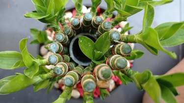 Lucky bamboo/Baby bamboo/Dracaena sanderiana