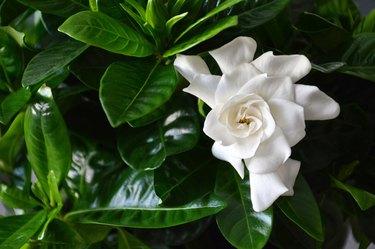 Close up of white gardenia flower. Blooming Cape Jasmine. The Gardenia Jasminoides.