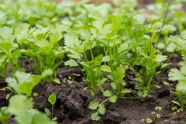 Background from parsley. Fresh growing parsley in the garden outdoor