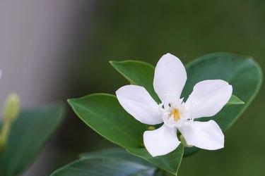 White gardenia flowers blooming in the garden