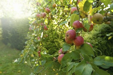 Red skinned apples on a tree in an orchard.