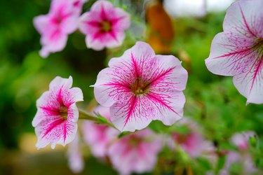 Close-up Pink Petunia Flower