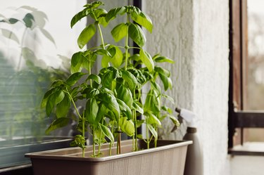 Fresh fragrant basil growing in a container on windowsill