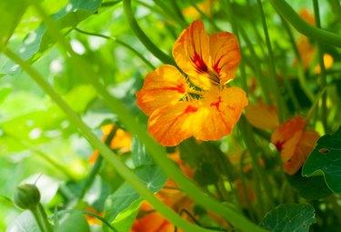 Nasturtium orange and yellow flower with leaves illuminated by sunlight