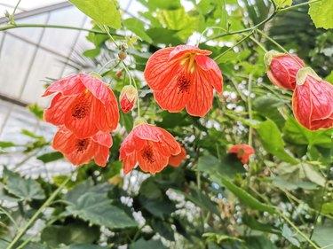 Abutilon pictum orange flowers. Common names Indian mallow, velvetleaf or flowering maple