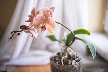 Phalaenopsis orchid flowers white pink,