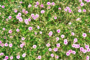 top view green and pink Portulaca grandiflora (Portulaca, Moss Rose, Sun plant, Sun Rose) for background