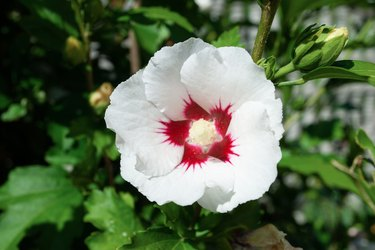 Rose mallow or Hibiscus syriacus white flower growing in summer garden, , soft selective focus