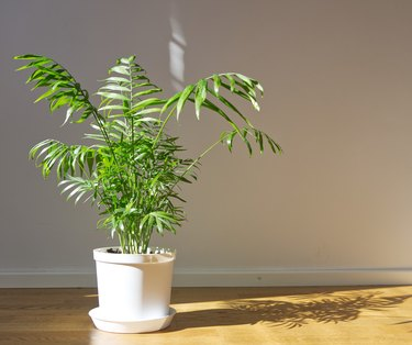 Potted Chamaedorea elegans. Parlor palm with sunlight. Tropical plant on floor