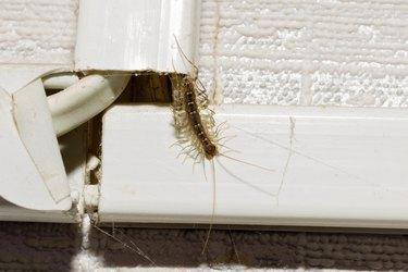 Animal centipede crawls out of hiding.