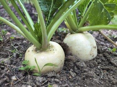 White Japanese Turnip