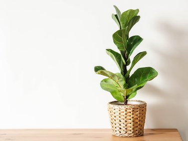 Ficus lirata in wickr pot on wooden table.
