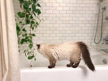Ragdoll Kitten Climbing on the Edge of a Bathtub