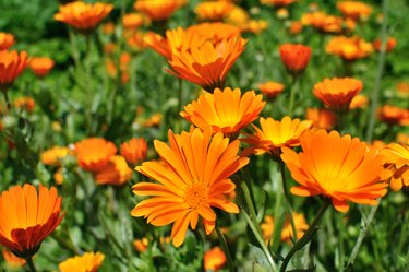 closeup of a medical  marigold flowers