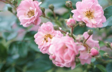 prune your roses