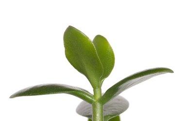 dollar plant (crassula portulacea) leaves close up