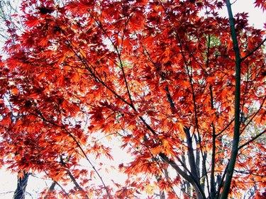 Crimson King Maple Problems