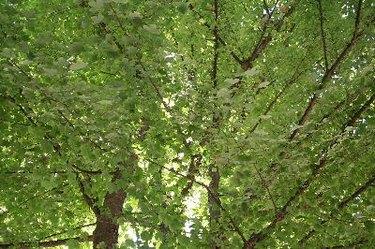 leafy maple tree