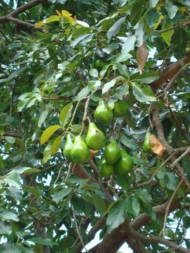 avocado fruits on a wild avocado tree