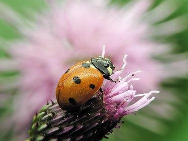 Lady bug on a garden flower.