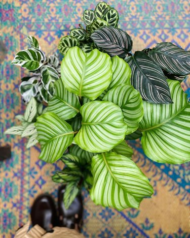 overhead view of a calathea plant near shoes and a patterned rug
