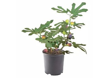 The Home Depot Black Mission Fig Tree with Green Foliage